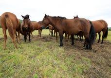 Cavalos na pastagem Fotografia de Stock Royalty Free
