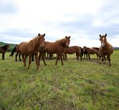 Cavalos na pastagem Imagem de Stock