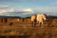Cavalos na pradaria Imagem de Stock Royalty Free
