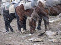 Cavalos na queda de neve Imagens de Stock Royalty Free