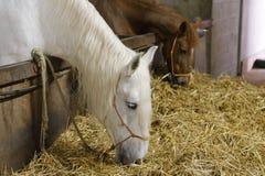 Cavalos na tenda Imagens de Stock