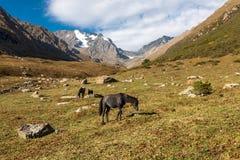 Cavalos nas montanhas de Quirguizistão, Ásia central Imagens de Stock Royalty Free