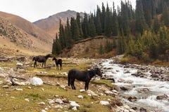 Cavalos nas montanhas de Quirguizistão, Ásia central Fotos de Stock Royalty Free