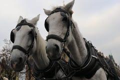Cavalos nas ruas de Praga imagens de stock royalty free