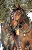 Cavalos no amor Fotos de Stock Royalty Free