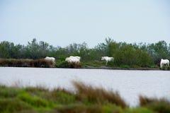 Cavalos no arbusto. Camargue Imagem de Stock