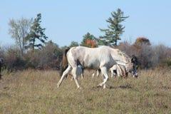Cavalos no campo Fotografia de Stock Royalty Free