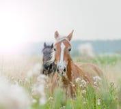 Cavalos no campo Imagens de Stock Royalty Free