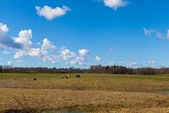 Cavalos no campo gramíneo verde sob o céu azul brilhante Fotos de Stock