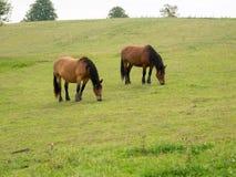 Cavalos no esclarecimento Fotos de Stock