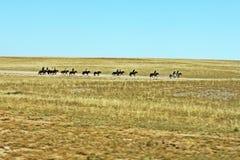 Cavalos no glassland imagem de stock royalty free
