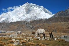Cavalos no Hymalaya Montains em Lobuche Fotos de Stock Royalty Free