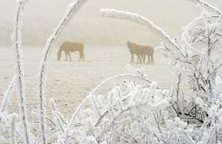 Cavalos no inverno 2 Imagem de Stock Royalty Free