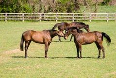 Cavalos no jogo Foto de Stock Royalty Free