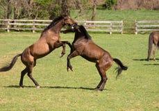Cavalos no jogo Imagens de Stock