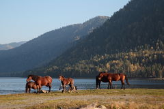 Cavalos no lago Imagem de Stock Royalty Free