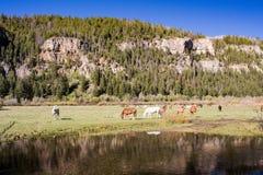 Cavalos no lago Sweetwater fotos de stock royalty free