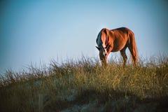 Cavalos no NC Foto de Stock