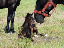 Cavalos no pasto Foto de Stock Royalty Free