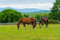 Cavalos no pasto irlandês fotografia de stock