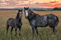 Cavalos no por do sol Fotos de Stock Royalty Free