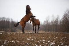Cavalos no prado Fotos de Stock