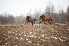 Cavalos no prado Imagens de Stock