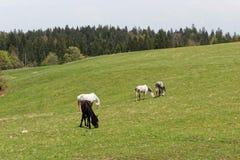 Cavalos no prado verde perto da alimentação da floresta Fotografia de Stock Royalty Free