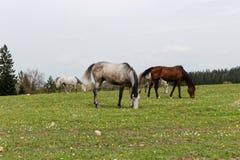 Cavalos no prado verde perto da alimentação da floresta Fotos de Stock Royalty Free