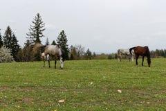 Cavalos no prado verde perto da alimentação da floresta Imagem de Stock