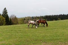 Cavalos no prado verde perto da alimentação da floresta Foto de Stock Royalty Free