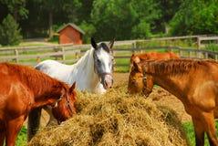 Cavalos no rancho Imagem de Stock