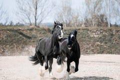 Cavalos no salto do campo na velocidade imagem de stock