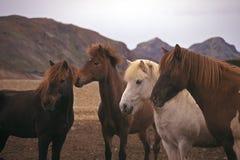Cavalos no selvagem Imagens de Stock