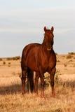 Cavalos no selvagem Fotos de Stock