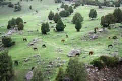 cavalos no vale de Tien Shan Fotografia de Stock
