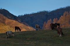 Cavalos nos prados livres das montanhas de Altai fotografia de stock