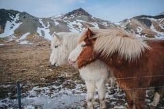 cavalos peludos marrons e brancos bonitos perto da cerca no pasto imagem de stock royalty free