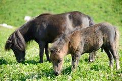 Cavalos pequenos no prado Imagens de Stock