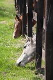 Cavalos que alcançam através da cerca Imagens de Stock
