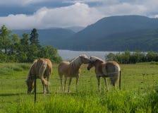 Cavalos que beijam em um campo Fotos de Stock Royalty Free