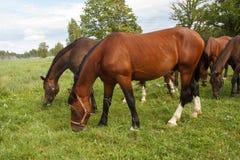Cavalos que comem a grama Fotografia de Stock