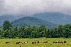 Cavalos que comem a grama Imagem de Stock