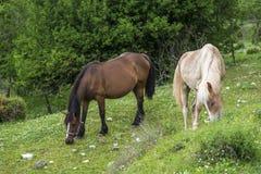 Cavalos que comem a grama Foto de Stock