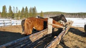 Cavalos que comem a grama Cavalo forte bonito bem arrumado que mastiga o feno Imagem de Stock Royalty Free