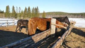 Cavalos que comem a grama Cavalo forte bonito bem arrumado que mastiga o feno Fotografia de Stock Royalty Free