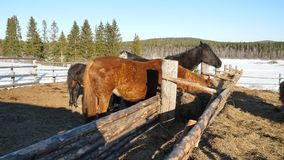 Cavalos que comem a grama Cavalo forte bonito bem arrumado que mastiga o feno Fotos de Stock Royalty Free