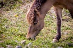 Cavalos que comem a grama em Islândia fotografia de stock royalty free