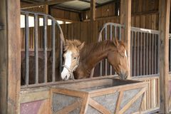 Cavalos que comem a grama na exploração agrícola Fotos de Stock Royalty Free