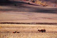Cavalos que comem a grama na pradaria do outono Fotografia de Stock Royalty Free